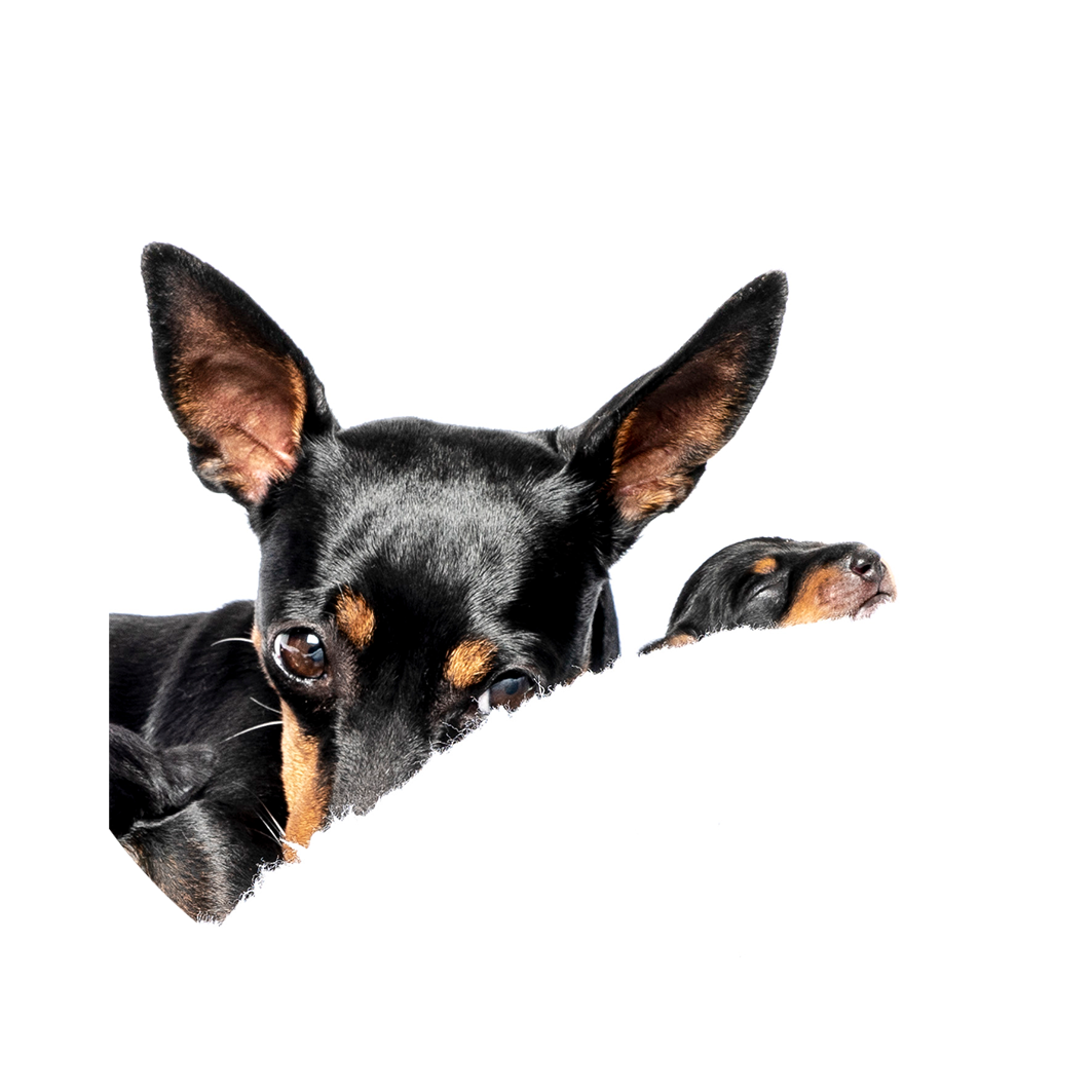 English Toy Terrier | ETT